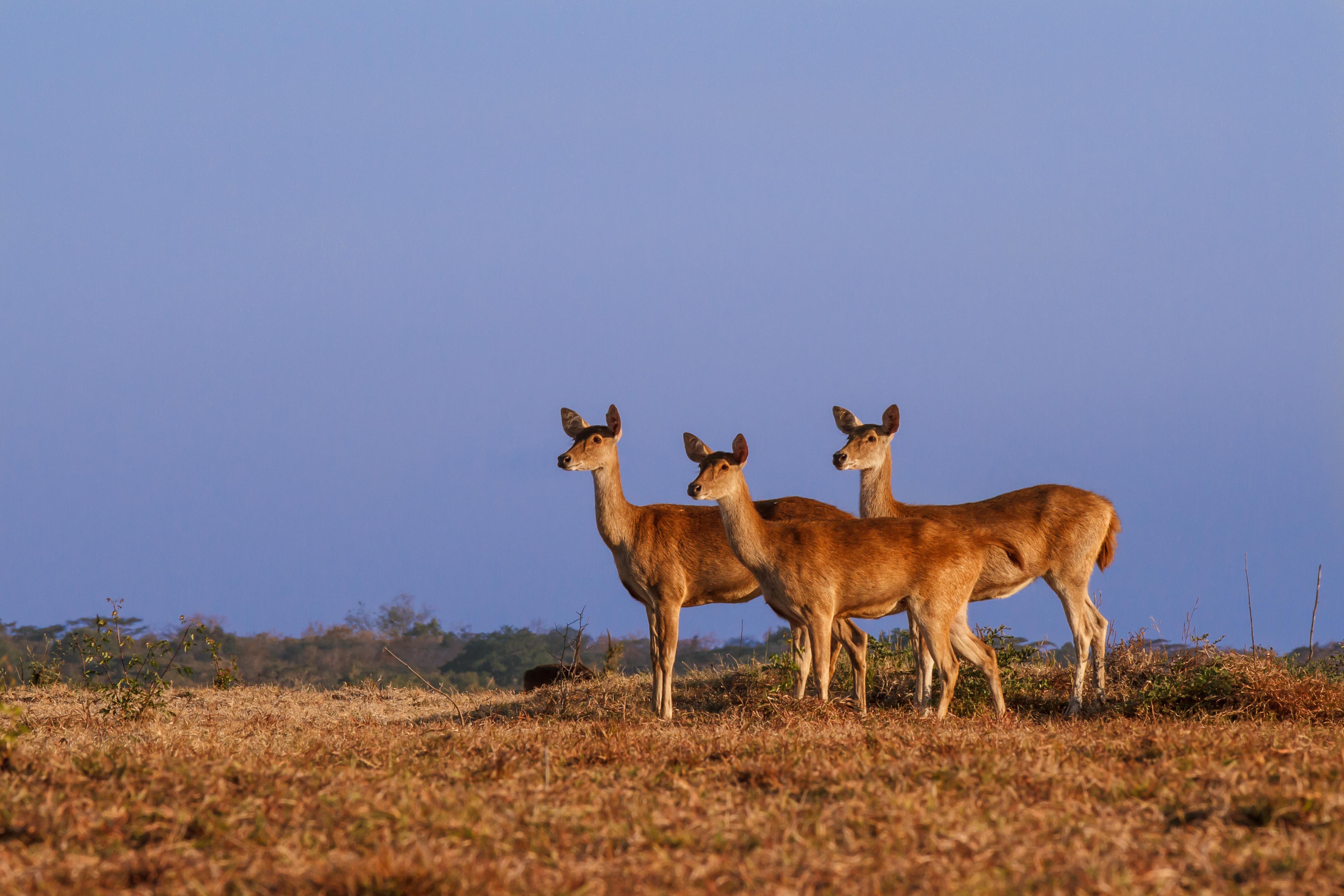 Java Deer at sunset on the Baluran savanna