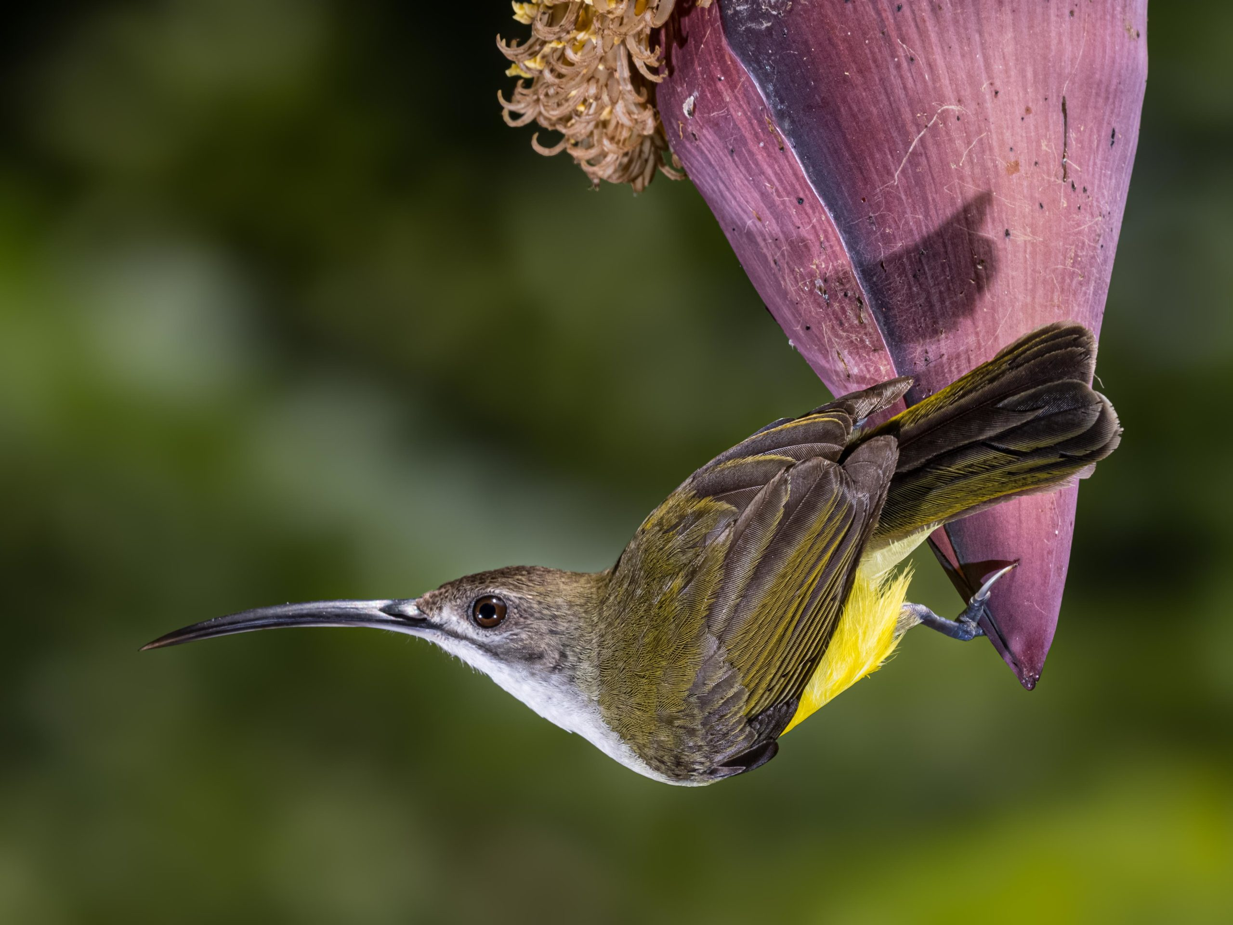 Bird, Little Spiderhunter, Sanda