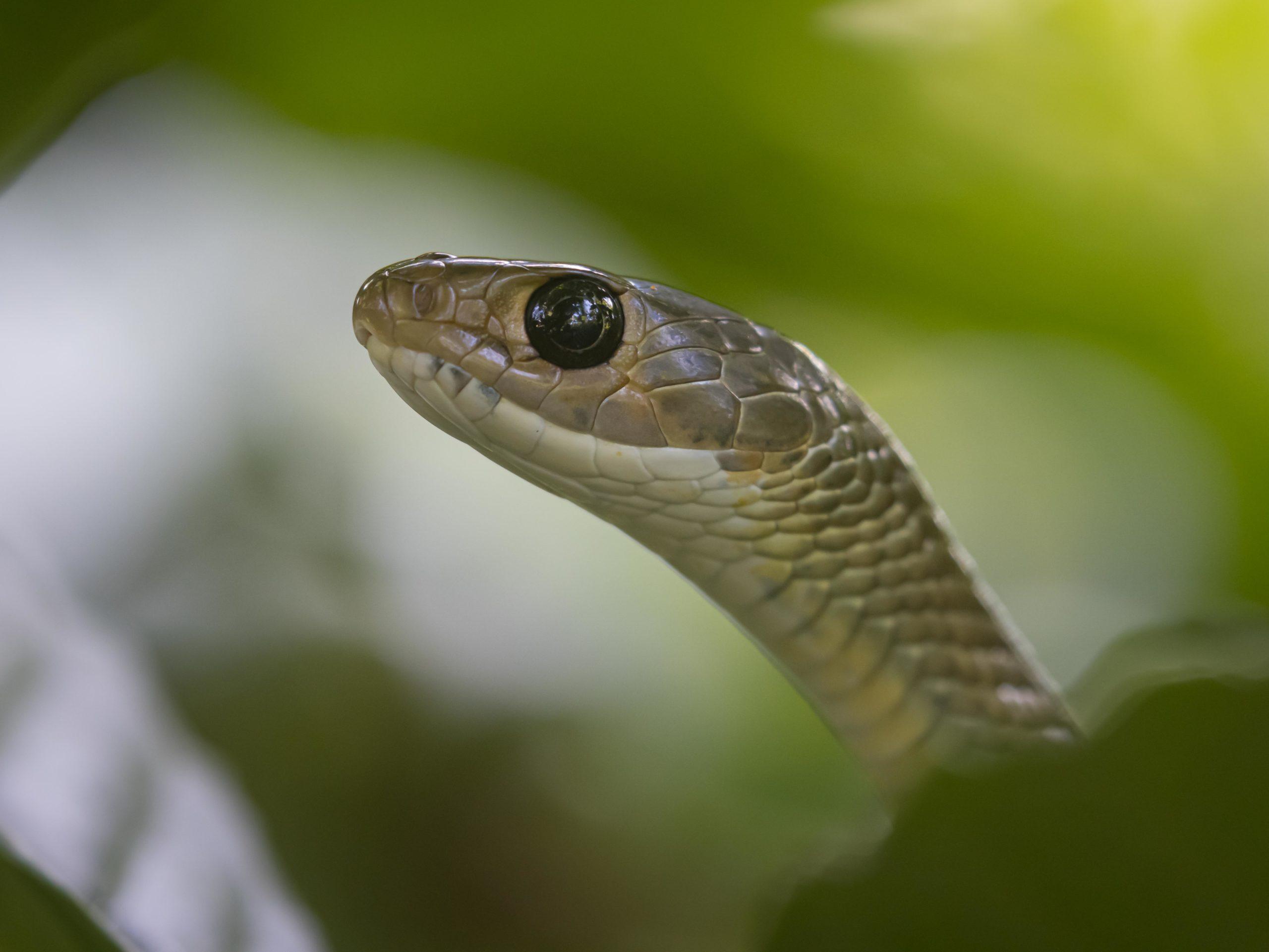 Bali, Indonesia, Rat Snake, Sanda